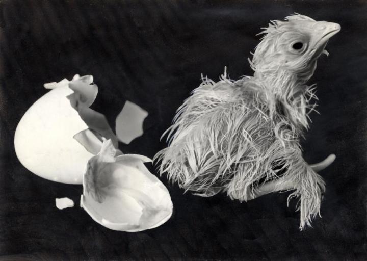 Kuikens. Een kuiken is zojuist uit zijn ei gebroken, trillend en hijgend na alle krachtinspanning, foto: 1936.